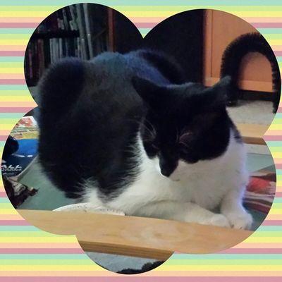 Batman Buck. Tuxedocats Stlouiscardinalscats Ilovecats Igcats instagramcats rescuecats catsofig catsofinstagram catlanta