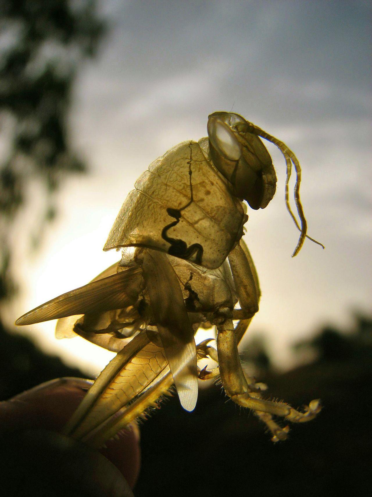 Grasshopper exoskeleton at sunset. Grasshopper Insects  Exoskeleton Andalucia Spain Maximum Closeness Andalucia Rural