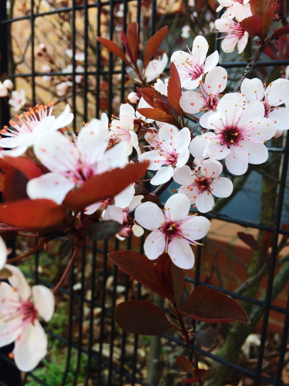 flower, beauty in nature, growth, fragility, petal, blossom, nature, springtime, white color, flower head, freshness, tree, no people, botany, branch, stamen, apple blossom, blooming, twig, day, close-up, outdoors
