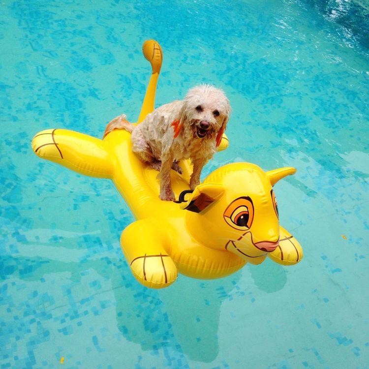 Summer Dogs Dog Swimming Dog's Pool Swimming Pool