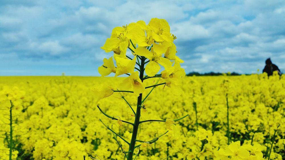 Taking Photos Yellow Flower Rapeseed Nature Spring Yellow Enjoying Life