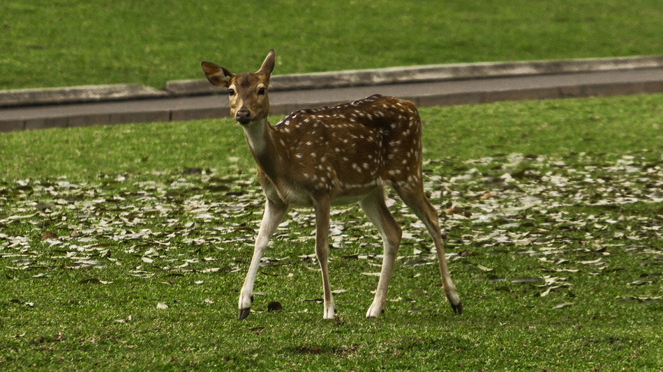 Deer world top model... Deer Animal Themes Animal Wildlife Animals In The Wild Day Female Deer Field Grass Green Color Looking At Camera Mammal Nature No People One Animal Outdoors Portrait Standing