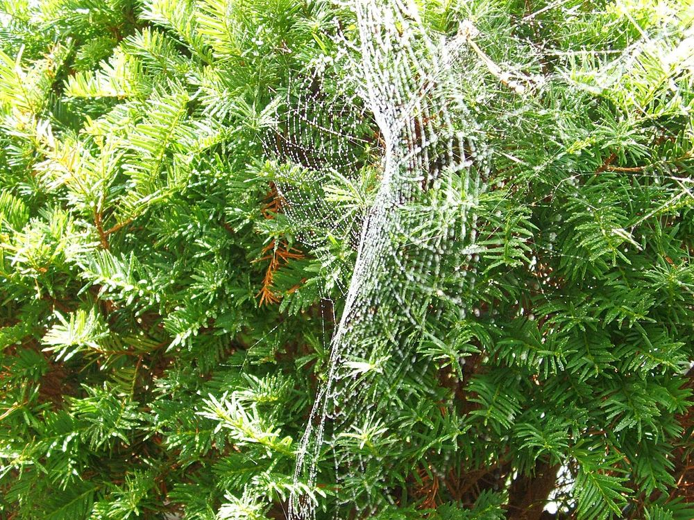 Spider Web Wet Web