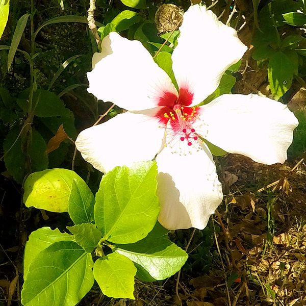 Beauty In Nature Blooming Close-up Day Flower Flower Head Fragility Freshness Growth High Angle View Leaf Nature No People Outdoors Periwinkle Petal Plant White Color