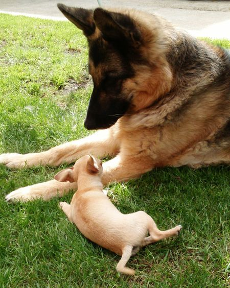 Little And Large Chihuahua Chihuahua Puppy Little Dog Small Dog German Shepherd Germanshepherd German Shepard German Sheperd German Shephard Big Dog Little Dog Big Dog Large Dog Canines Small And Big Dogs Relaxing In The Sun Relaxing In The Grass Alsatian Two Dogs Furry Family
