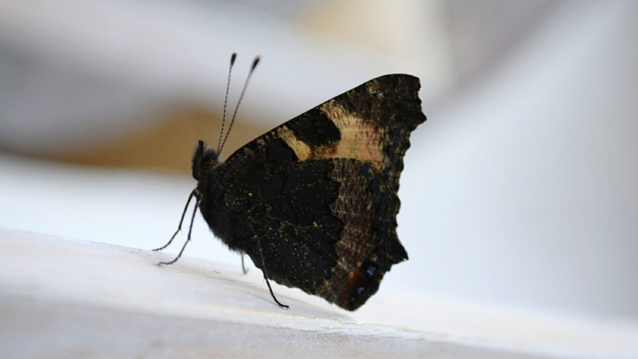 Beautiful stock photos of butterfly, Animal Themes, Animals In The Wild, Black Color, Butterfly