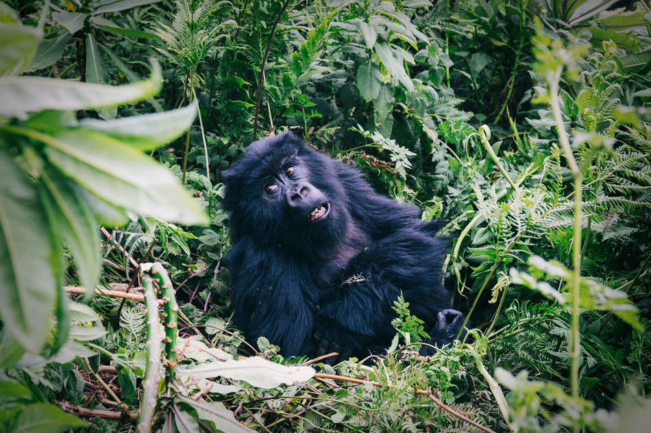 Gorilla Tracking in the jungle in Rwanda Africa African African Beauty Animal Animal Themes Animals Black Color Day Gorilla Hiking In The Wild Mammal Monkey Nature No People Outdoors Primate Rwanda Safari Tree Trekking Wild Wildlife Wildlife & Nature Wildlife Photography