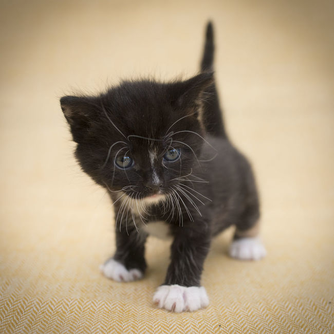 Heart of a lion Alertness Bravce Bravery Cat Defiance Domestic Cat Facing Camera Feline Hybris Interested Kitten Learning Looking At Camera Love Pathetic Pathé Pets Portrait Strong Strong Coffee Valley