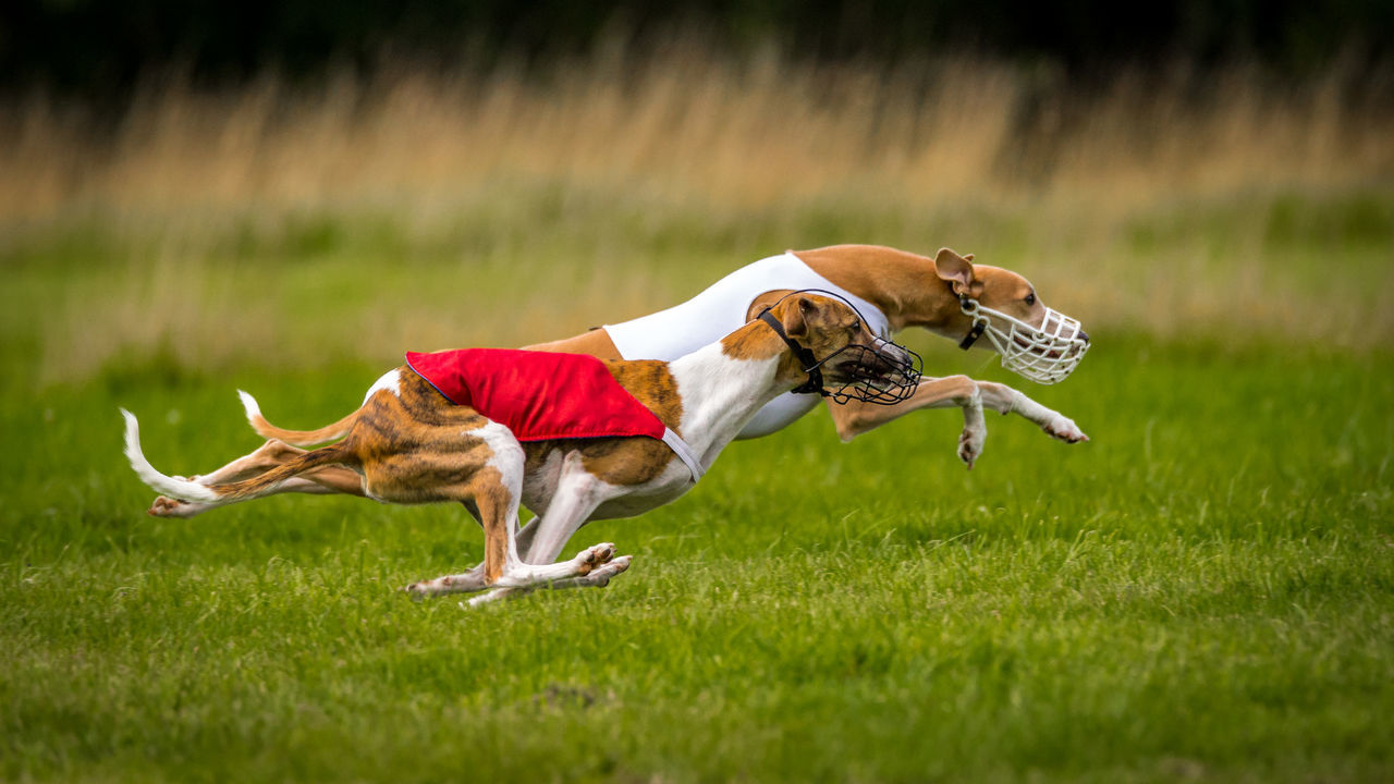 Animal Themes Coursing Dog Ranning Greyhound Greyhound Racing Pets Race On Gras Racing