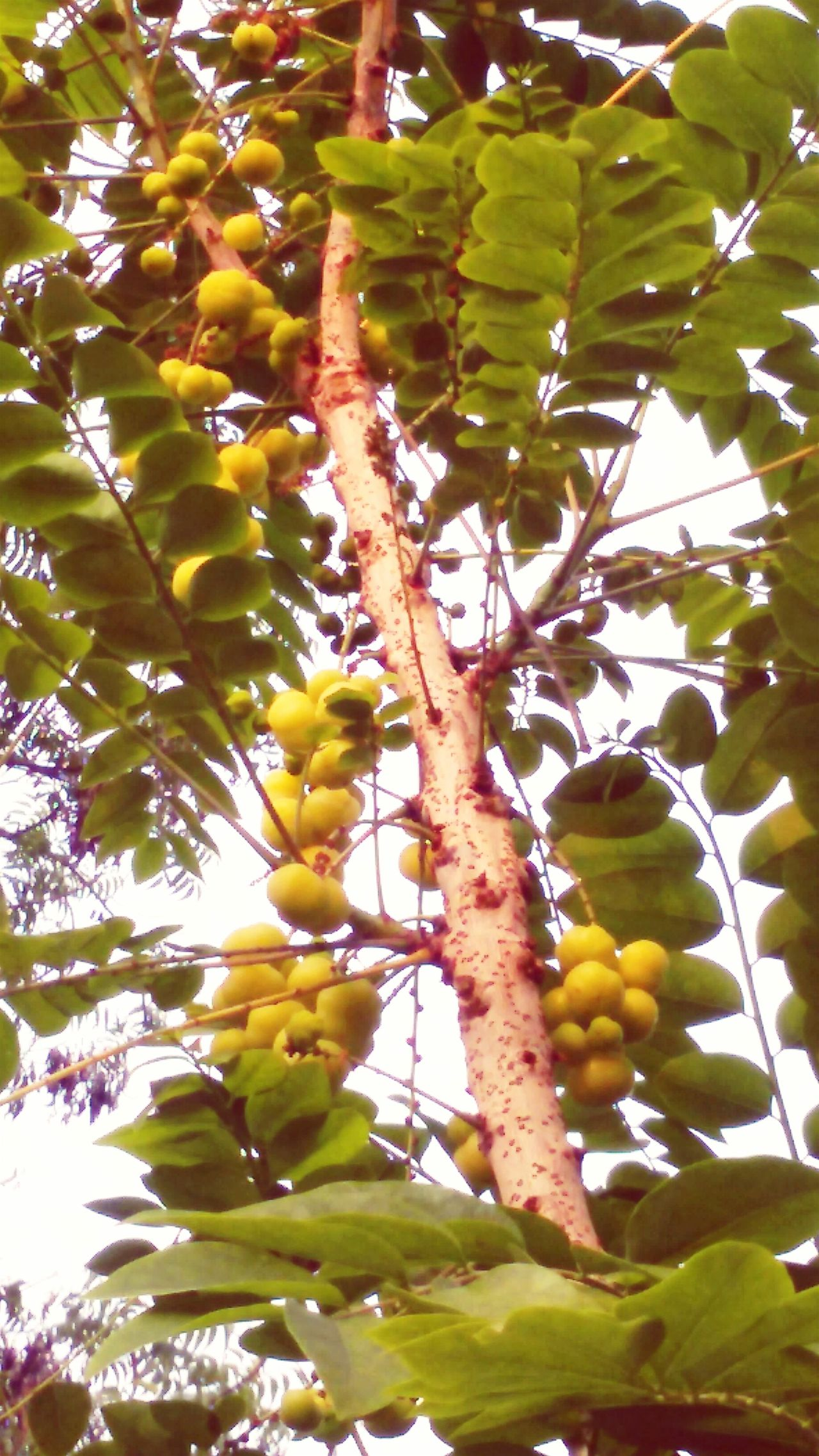 Indian AMLA Fruit Garden Photography My Garden @my Home Taken By Me Taken From Smartphone Camera Taken From Samsung Galaxy S3 Check This Out Early Morning Tree Lover Green Love