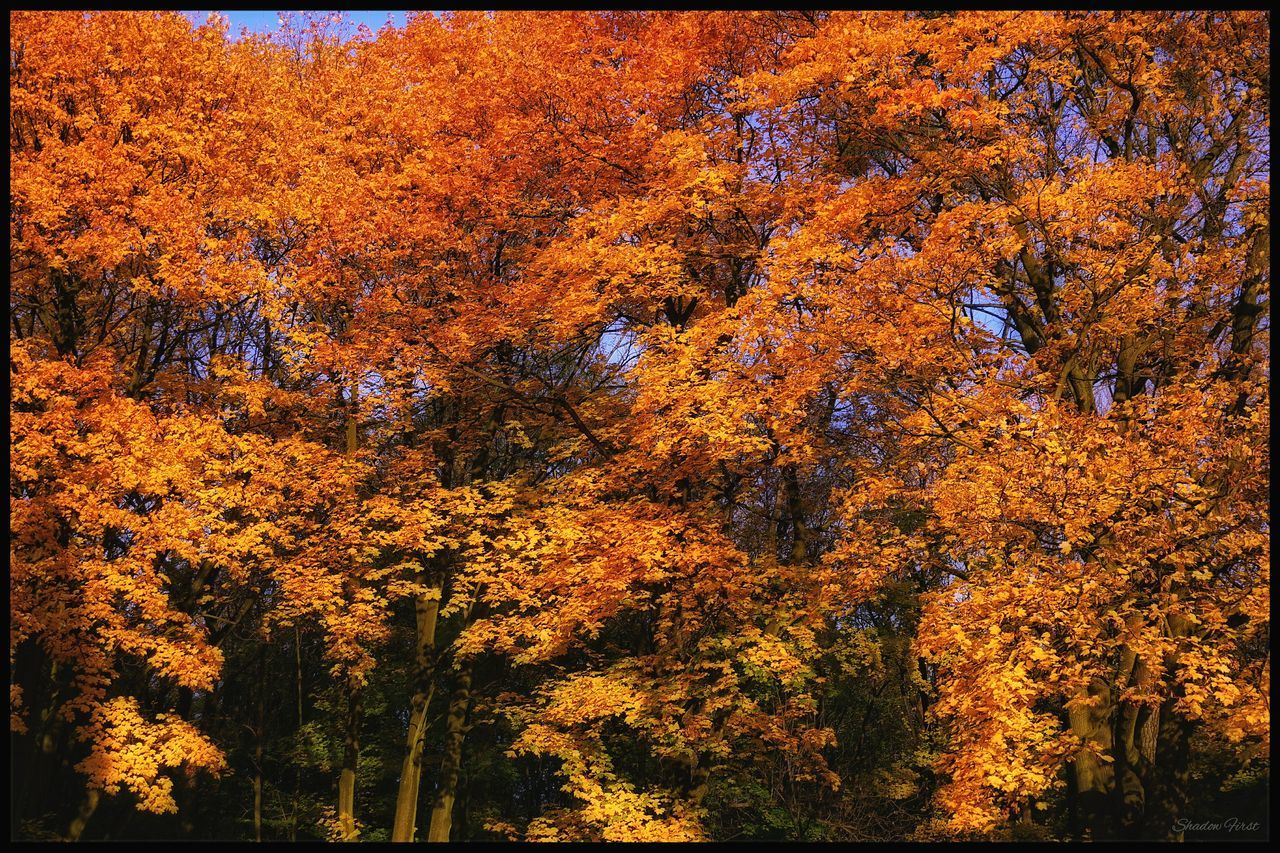 autumn, change, tree, nature, leaf, beauty in nature, tranquility, forest, tranquil scene, orange color, scenics, maple tree, outdoors, no people, growth, day, maple leaf, sky