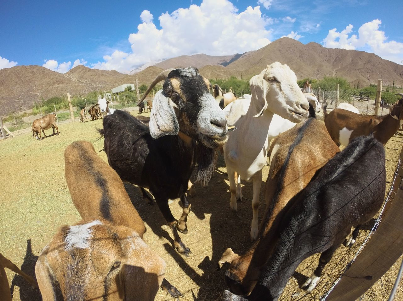 Taking Photos Goats Farm Animals Dry Land Hello World Cheese! FUNNY ANIMALS Salta  Argentina
