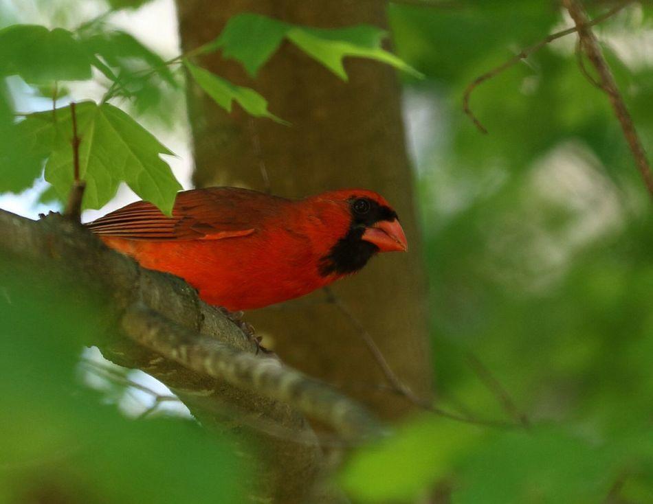 Northern Cardinal Redbird Bird Perching Tree Branch Animal Wildlife Nature