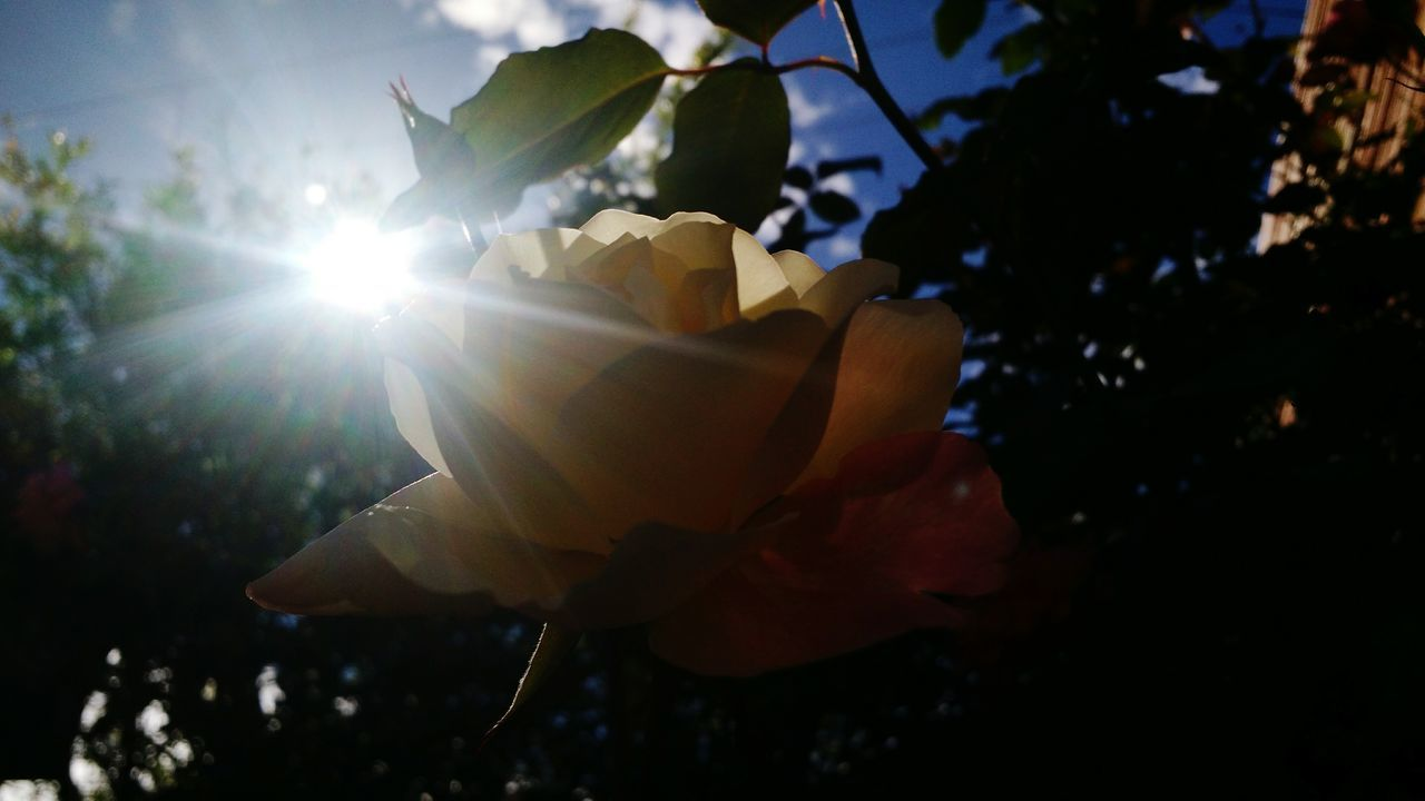 flower, sunlight, nature, beauty in nature, fragility, lens flare, petal, growth, sun, freshness, outdoors, flower head, close-up, no people, day, blooming