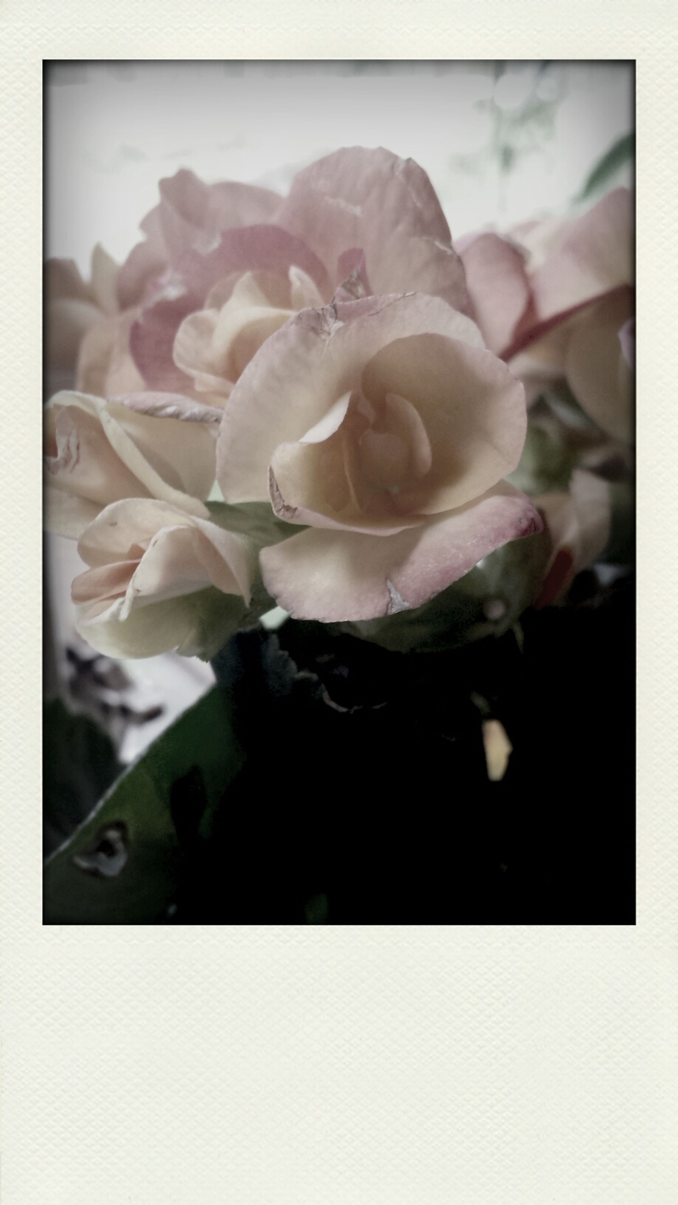 flower, petal, transfer print, flower head, fragility, freshness, beauty in nature, close-up, rose - flower, auto post production filter, growth, single flower, nature, blooming, plant, rose, white color, in bloom, blossom, studio shot
