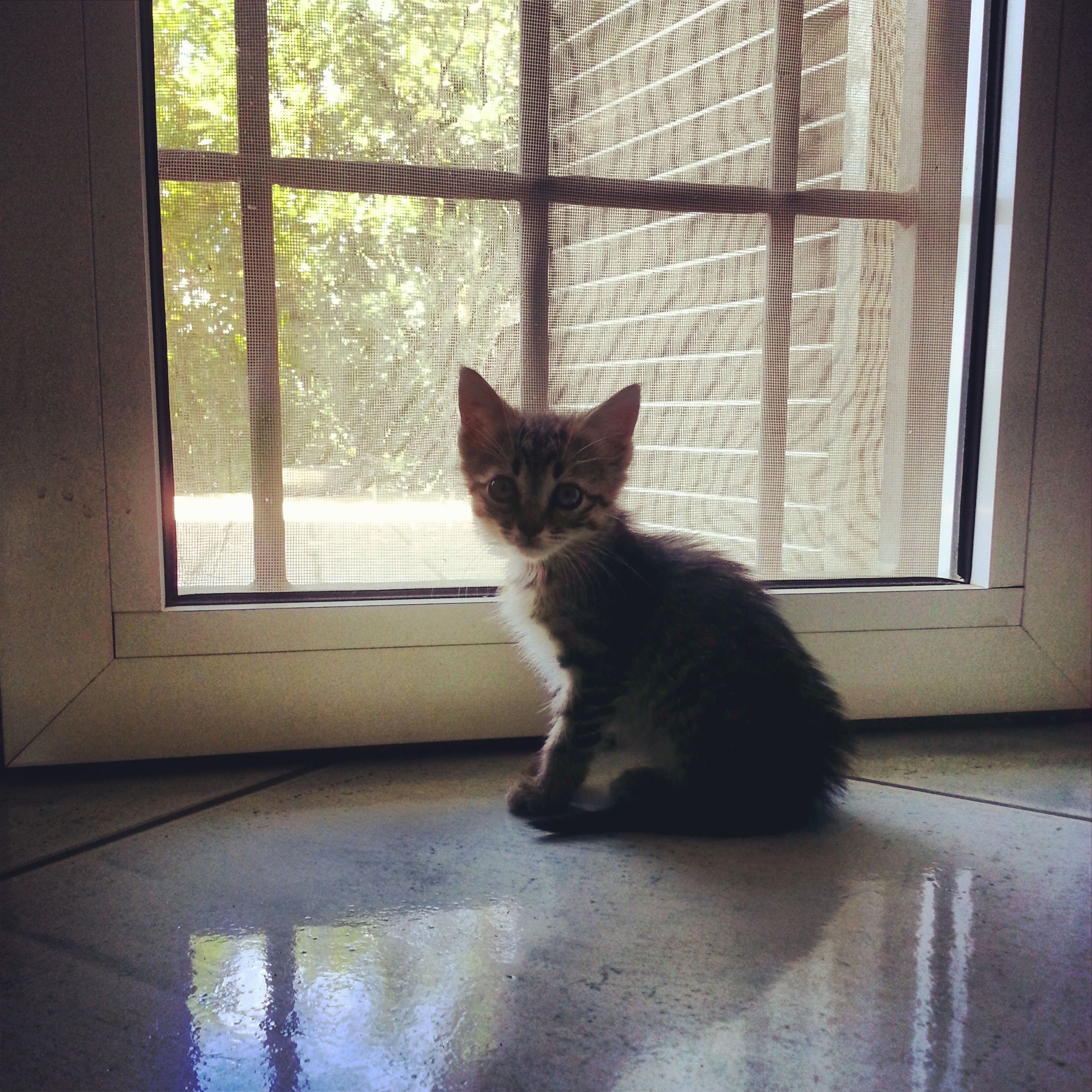 pets, domestic cat, domestic animals, cat, indoors, one animal, animal themes, mammal, window, feline, window sill, home interior, sitting, glass - material, whisker, transparent, relaxation, looking through window, curtain, house