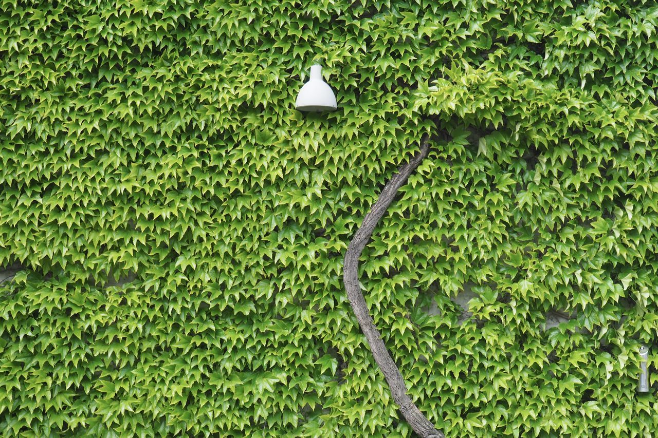 Close-up Day Electricity  Energy Freshness Green Color Green Power Growth Ivy Lamp Leaf Light Natural Energy Nature No People Organic Outdoors Plant Plants Power Sustainability Sustainable Resources Tree Wall Wine