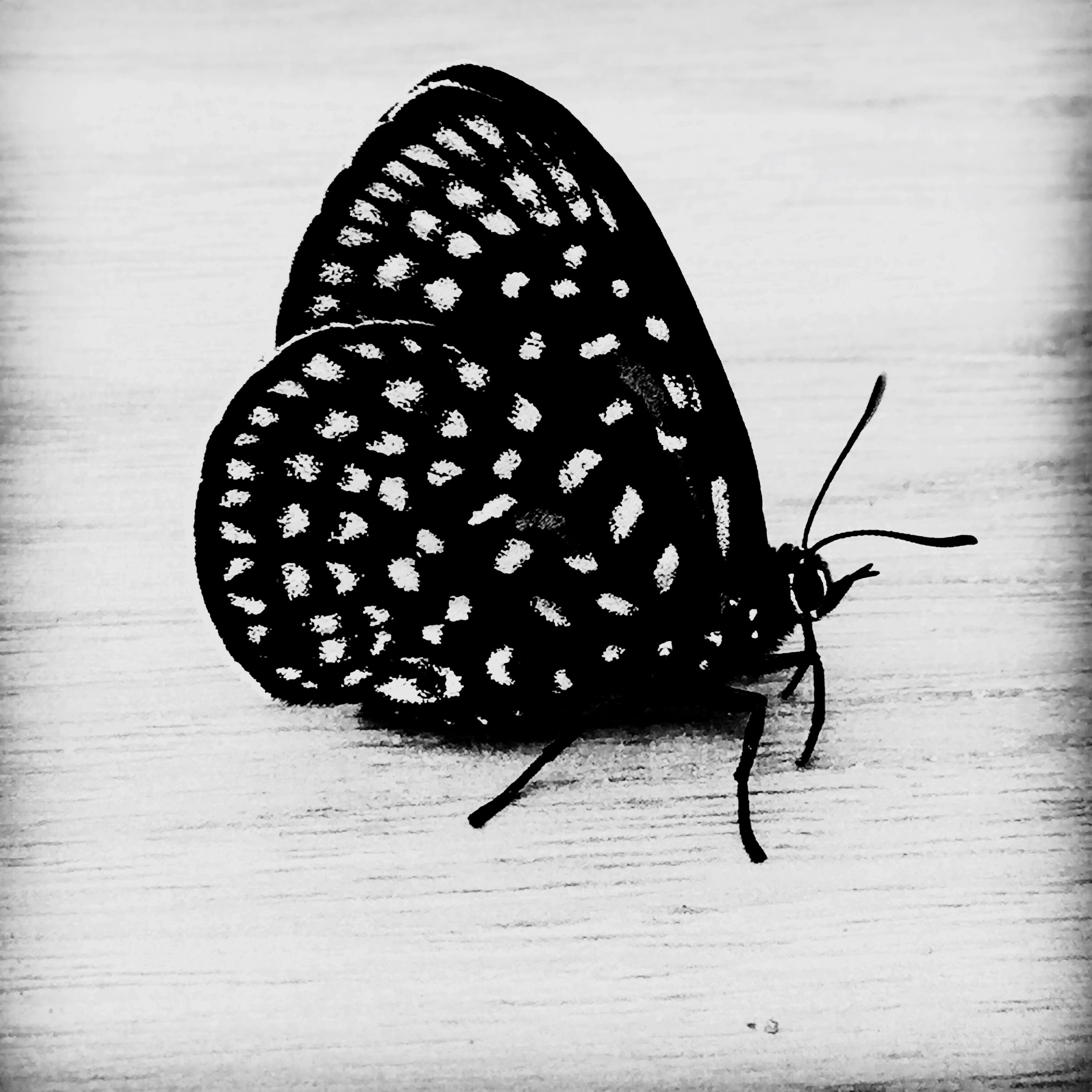 insect, one animal, animal themes, close-up, wildlife, animals in the wild, table, butterfly - insect, high angle view, indoors, animal antenna, animal markings, natural pattern, animal wing, black color, butterfly, wood - material, single object, no people, nature