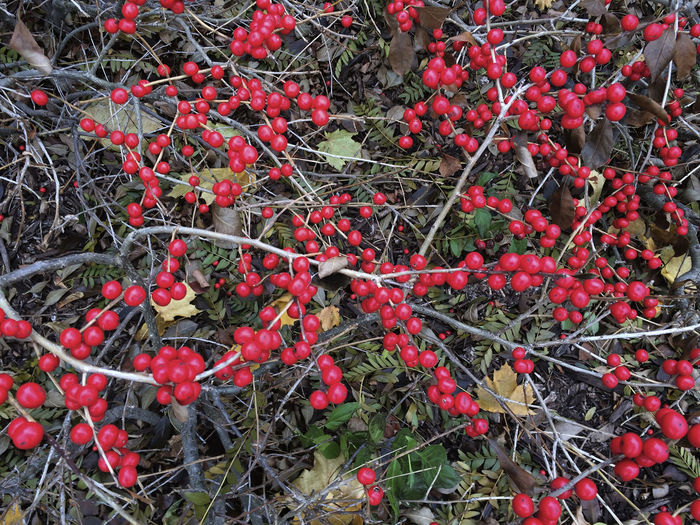 Abundance Autumn Berries Branch Close-up Focus On Foreground Leaf Red Stem Twig