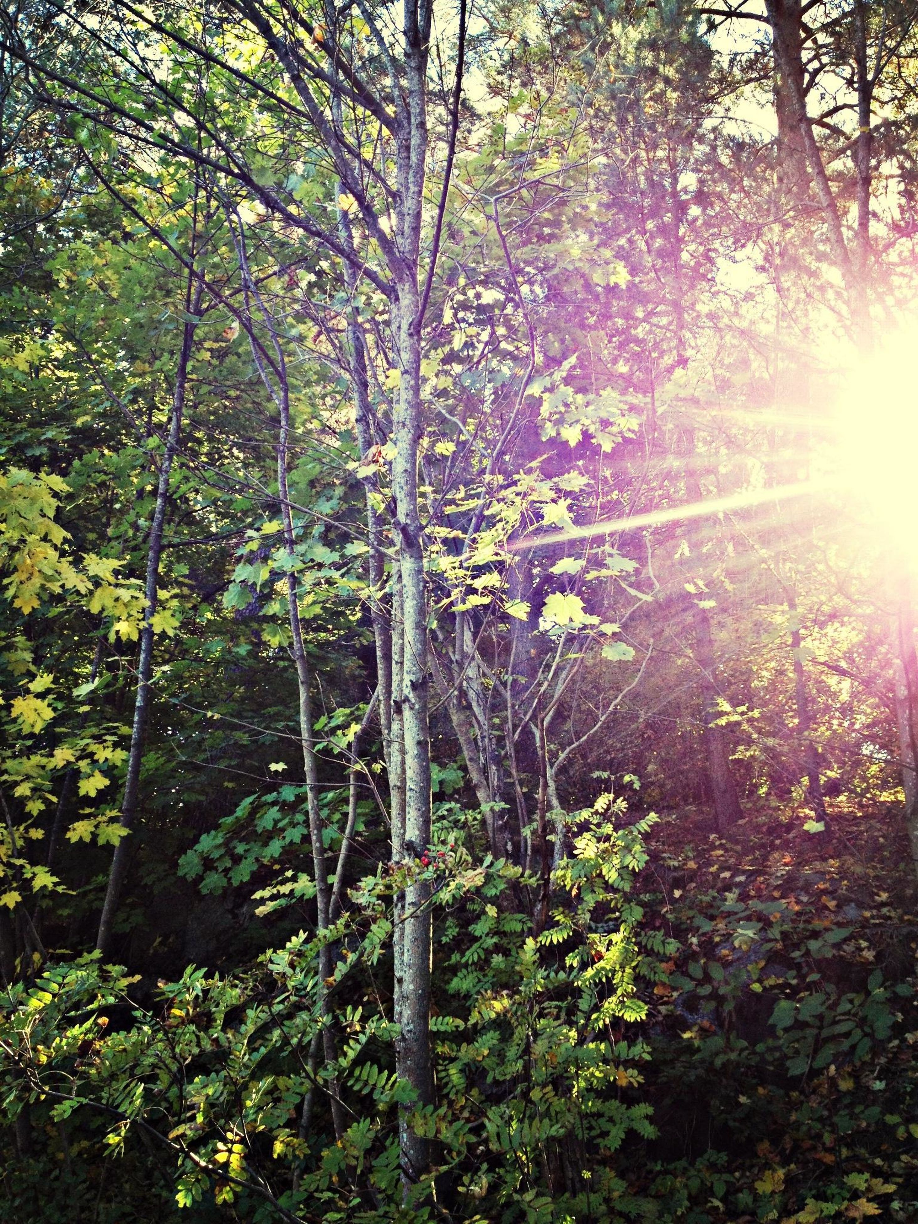 tree, growth, sunbeam, sun, sunlight, beauty in nature, nature, tranquility, flower, lens flare, plant, branch, tranquil scene, forest, scenics, freshness, tree trunk, outdoors, day, no people