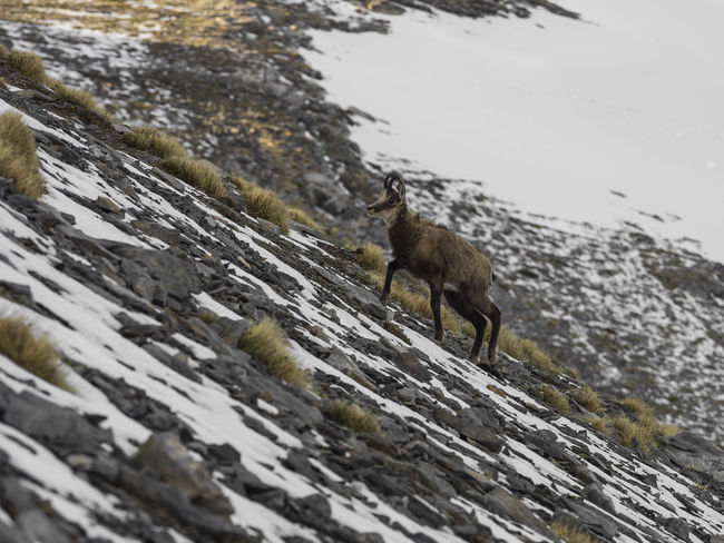 Mountain goat Animal Themes Cold Temperature Day Domestic Animals Goat Greece Mountain Goat Nature No People Non-urban Scene Olympus Mountain One Animal Outdoors Rocky Season  Snow Snow Covered Tranquil Scene Winter Zoology