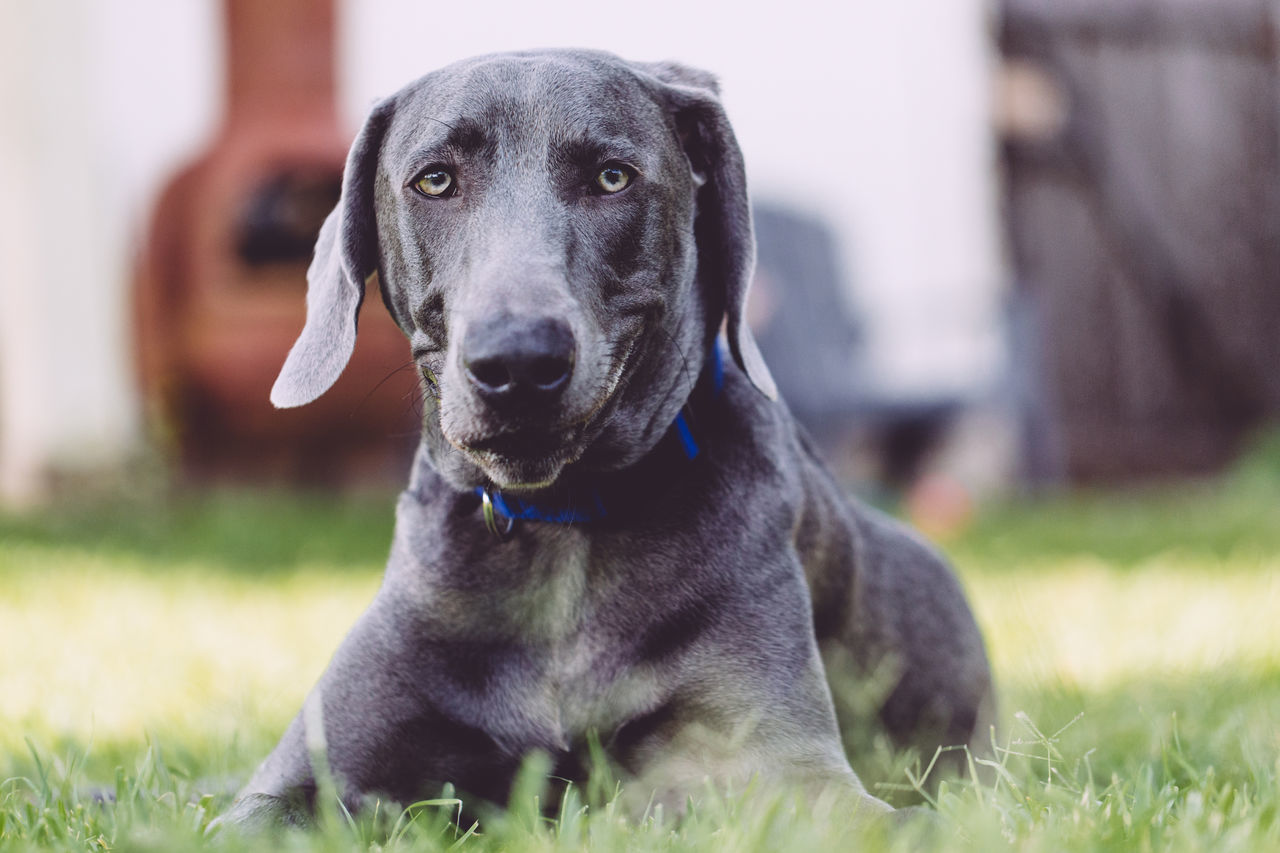 Animal Backyard Blue Collar Blue Dog Cute Day Dog Family Pet Focus On Foreground Funny Grinning Hanging Out Large Breed Dog Large Dog Mammal No People One Animal Outdoors Pet Smirk Sweet Weimaraner