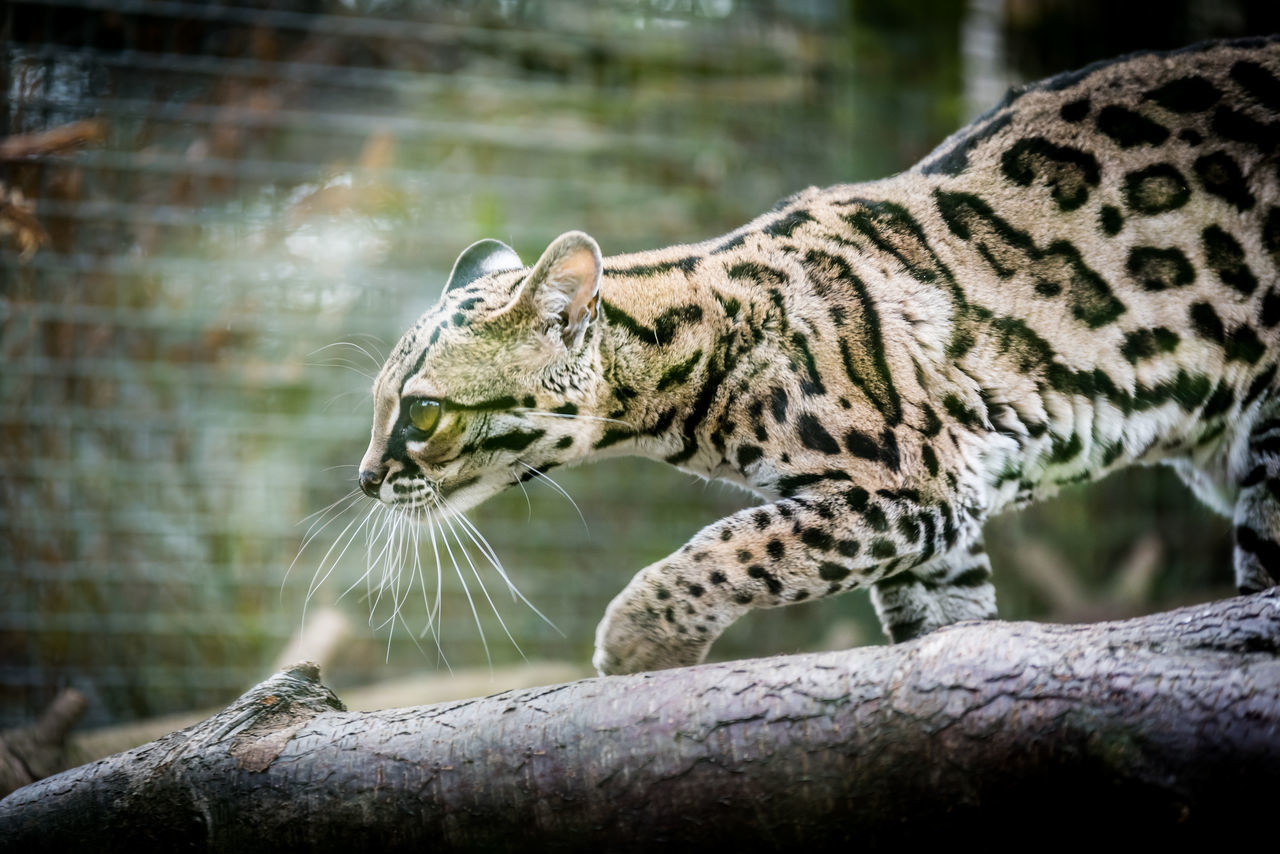 Margay (or Tree Ocelot) prowling at Edinburgh Zoo, Scotland. Animal Themes Animal Wildlife Animals Big Cat Cat Close-up Endangered Animals Endangered Species Leopard Leopardus Wiedii Mammal Margay Nature Nature No People Ocelot One Animal Outdoors Prowling Wildlife