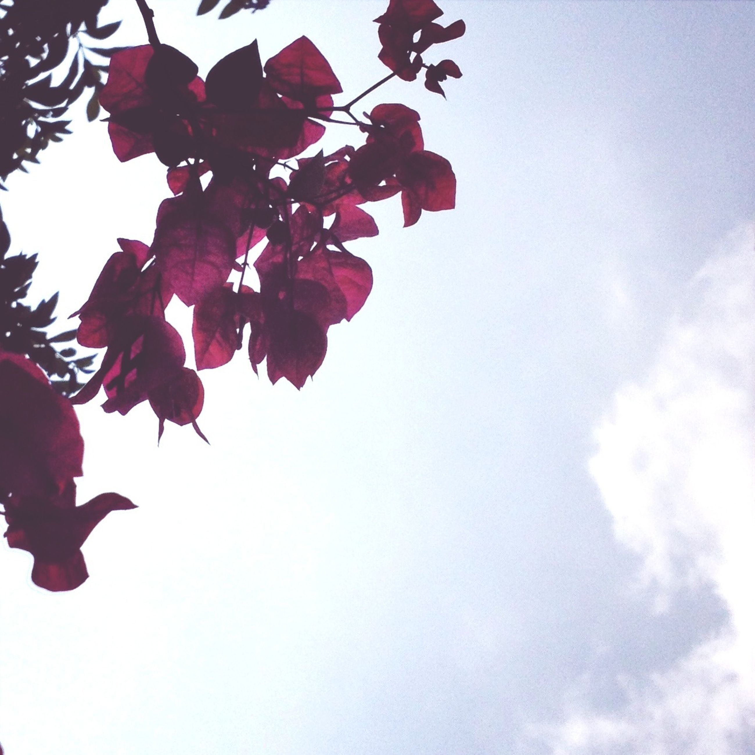low angle view, branch, sky, beauty in nature, growth, tree, nature, clear sky, leaf, red, freshness, flower, copy space, high section, outdoors, day, no people, fragility, tranquility, blue