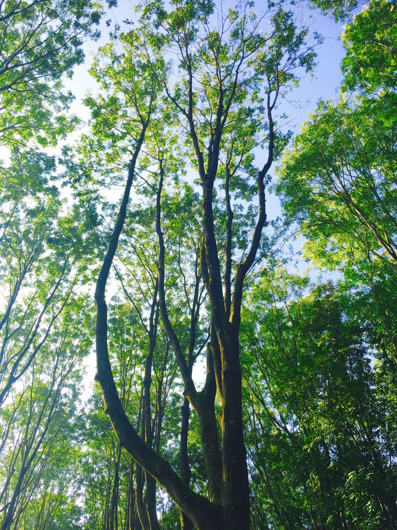 Spring flashback Tree Low Angle View Nature Growth Green Color No People Beauty In Nature Forest Sky Outdoors Tranquility Day Branch Nature Nature_collection Nature Photography Nature On Your Doorstep Trees And Sky Trees