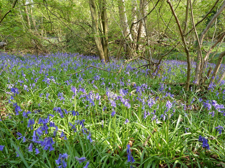Worth way Crawley Sussex Bluebell Flower Flowers Grass Green Color Growth Nature Outdoors Plant Summer Tree Worth Waiting For