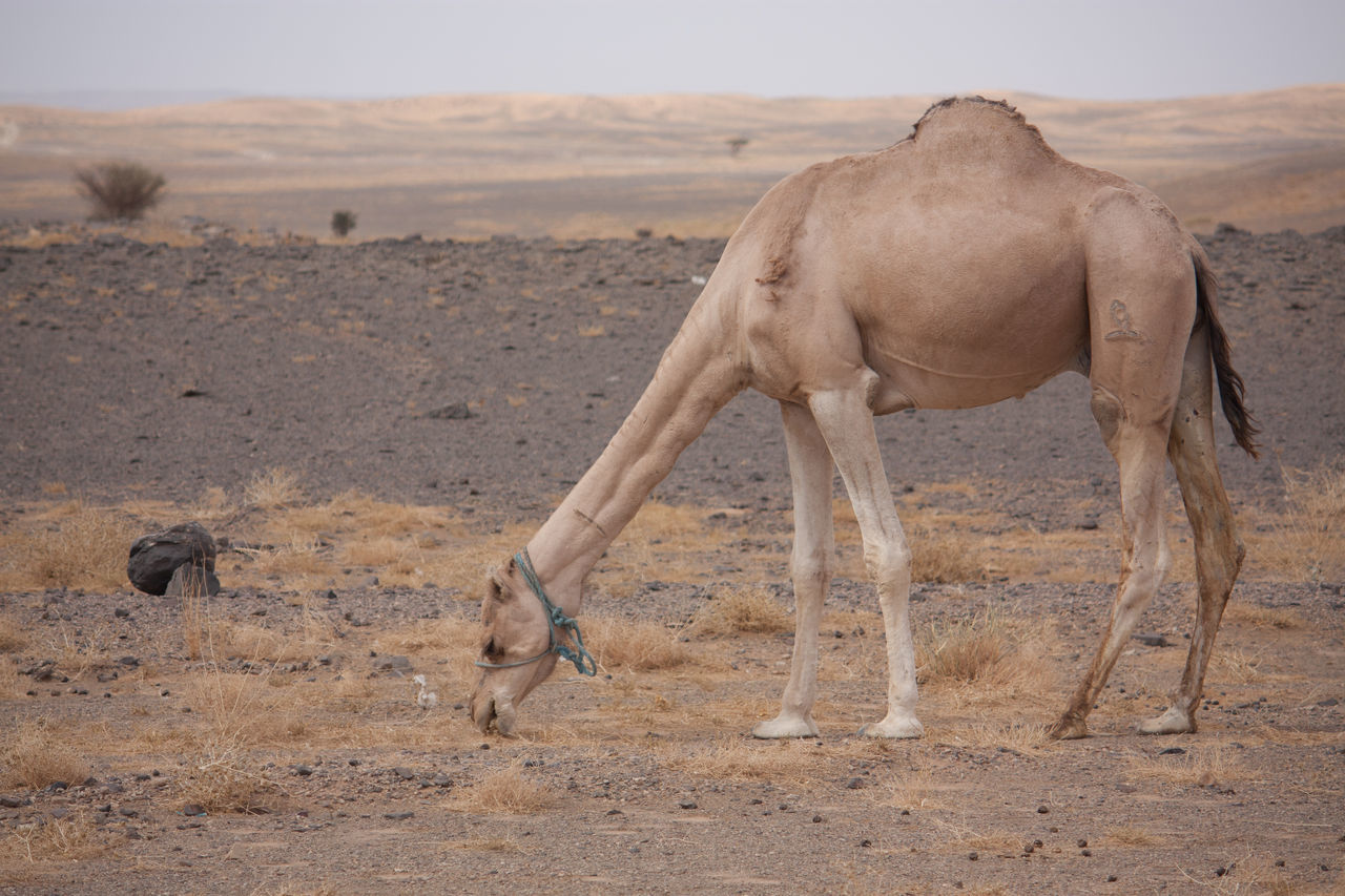 Beautiful stock photos of camel, Animal, Animal Neck, Animal Themes, Camel