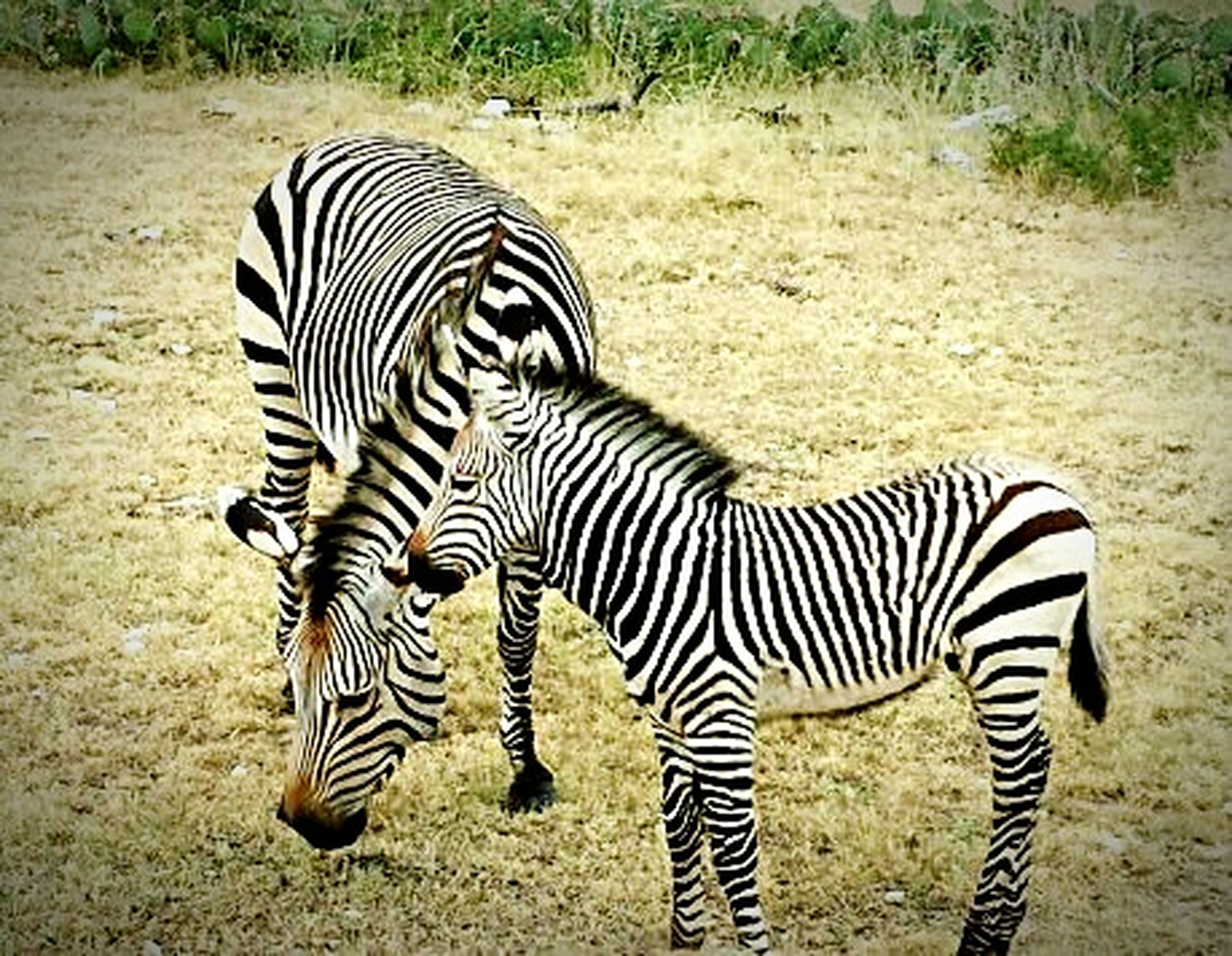 animal themes, zebra, striped, safari animals, animals in the wild, wildlife, field, standing, herbivorous, mammal, animal markings, natural pattern, two animals, grass, togetherness, grazing, full length, landscape, nature, side view