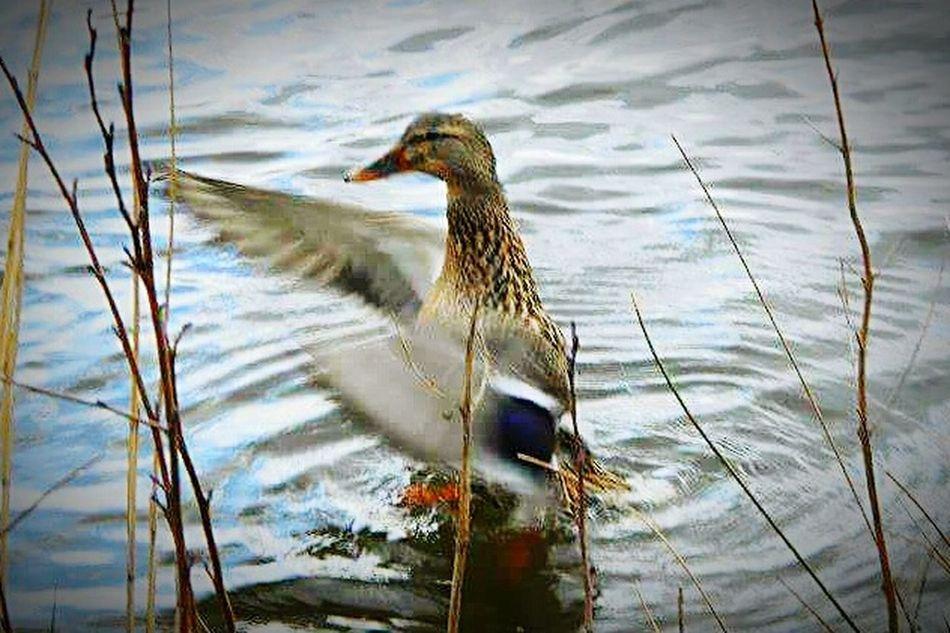 Water Splash Duck Perfecttiming Flapping Its Wings Splashingaround Happy Ilovenature Dancelikenooneswatching