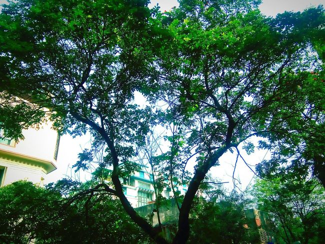 Trees Green Leaves Green Nature Branches And Sky Branches Branches And Leaves Greenery Green Leaves From Nearby Tree Green Leaves. Tree Of Life Natural Beauty Nature Nature Colors Tree And Sky Tree Art Tree Branches Beautiful Tree From My Point Of View Fresh Green Fresh Green Leaves