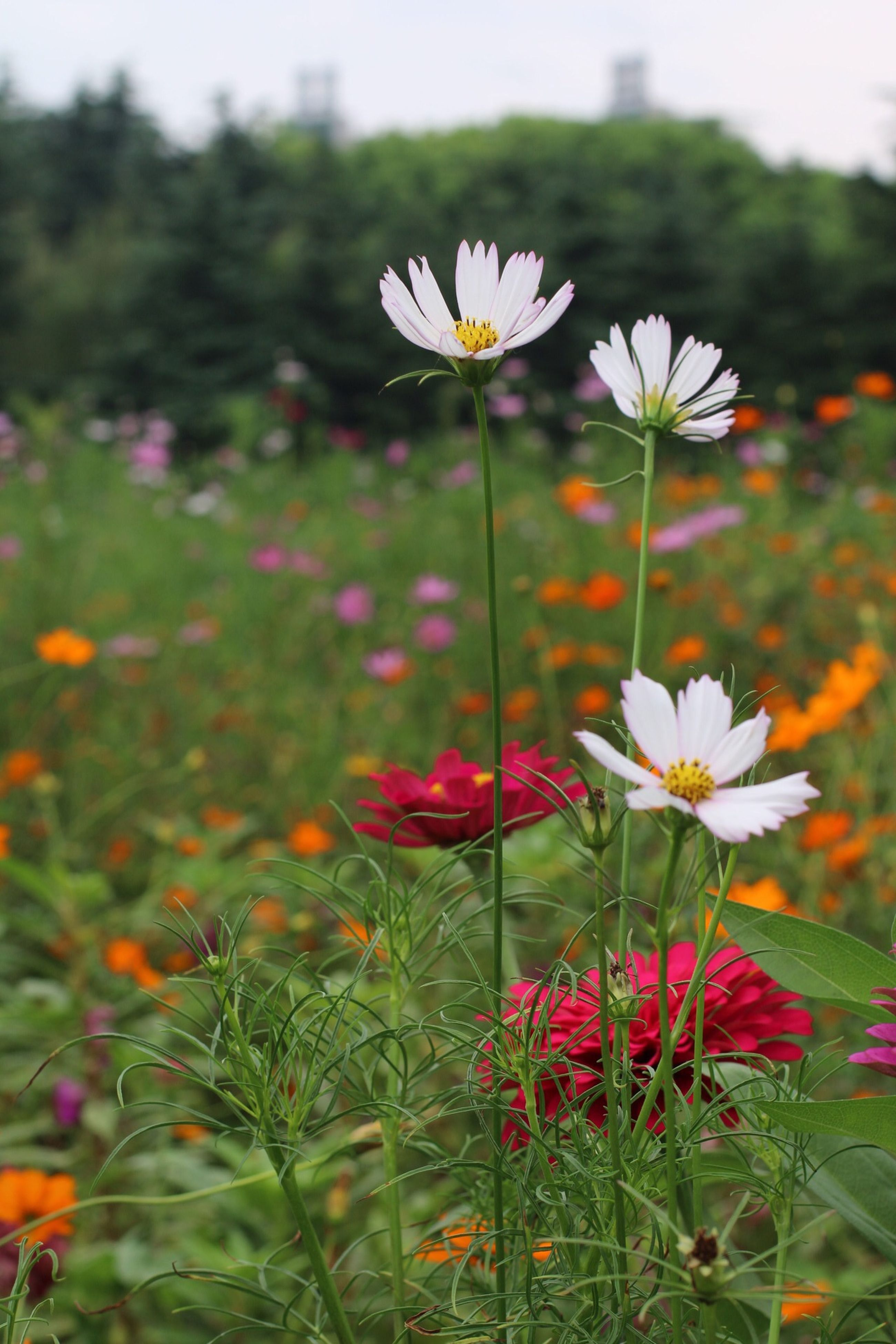 flower, freshness, fragility, petal, growth, flower head, beauty in nature, stem, blooming, plant, nature, field, focus on foreground, in bloom, close-up, white color, blossom, botany, day, daisy