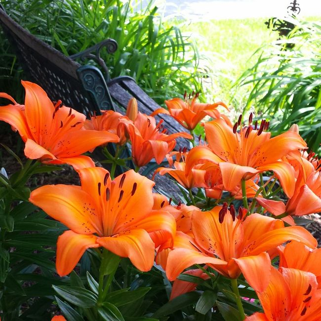 Lilies in bloom. I have several flower gardens. One of my passions. Lilies Lily Lily Flower Lilies In Bloom Lilies Of The Valley Lilies, Flower, Red, Contrast, Winter Orange Lily Orange Lilies Orange Lilly Garden Garden Photography Flower Garden