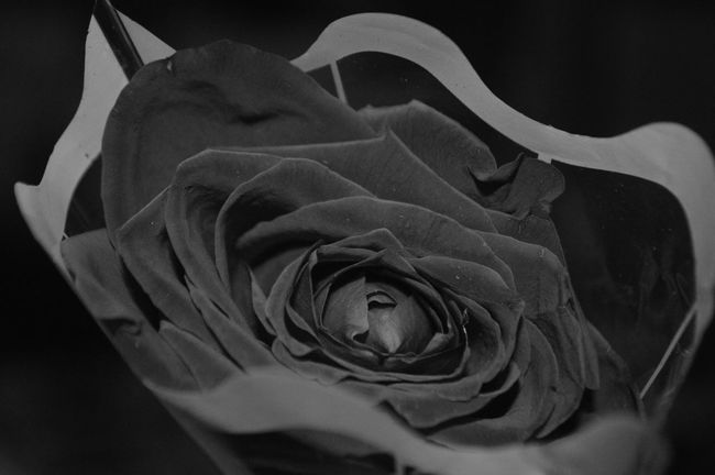 Beauty In Nature Black Background Bloom Blossom Botany Close-up Curled Up Extreme Close-up Monochrome Photography Flower Head Fragility Freshness Growth In Bloom Macro Nature Petal Plant Rosé Rose - Flower Rose Petals Single Flower Single Rose Springtime Studio Shot