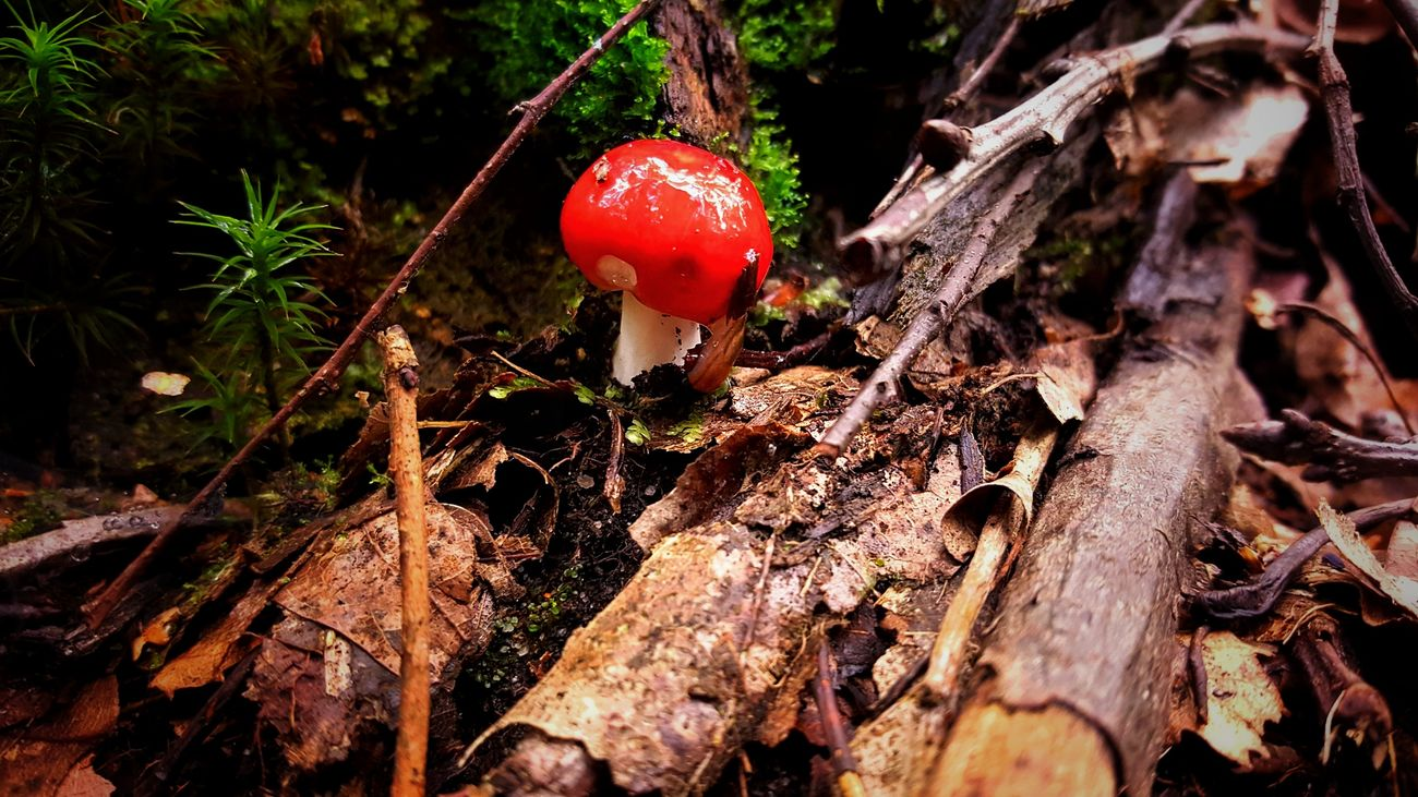 Beauty In Nature Close-up Day Fly Agaric Mushroom Growth Mushroom Nature No People Red
