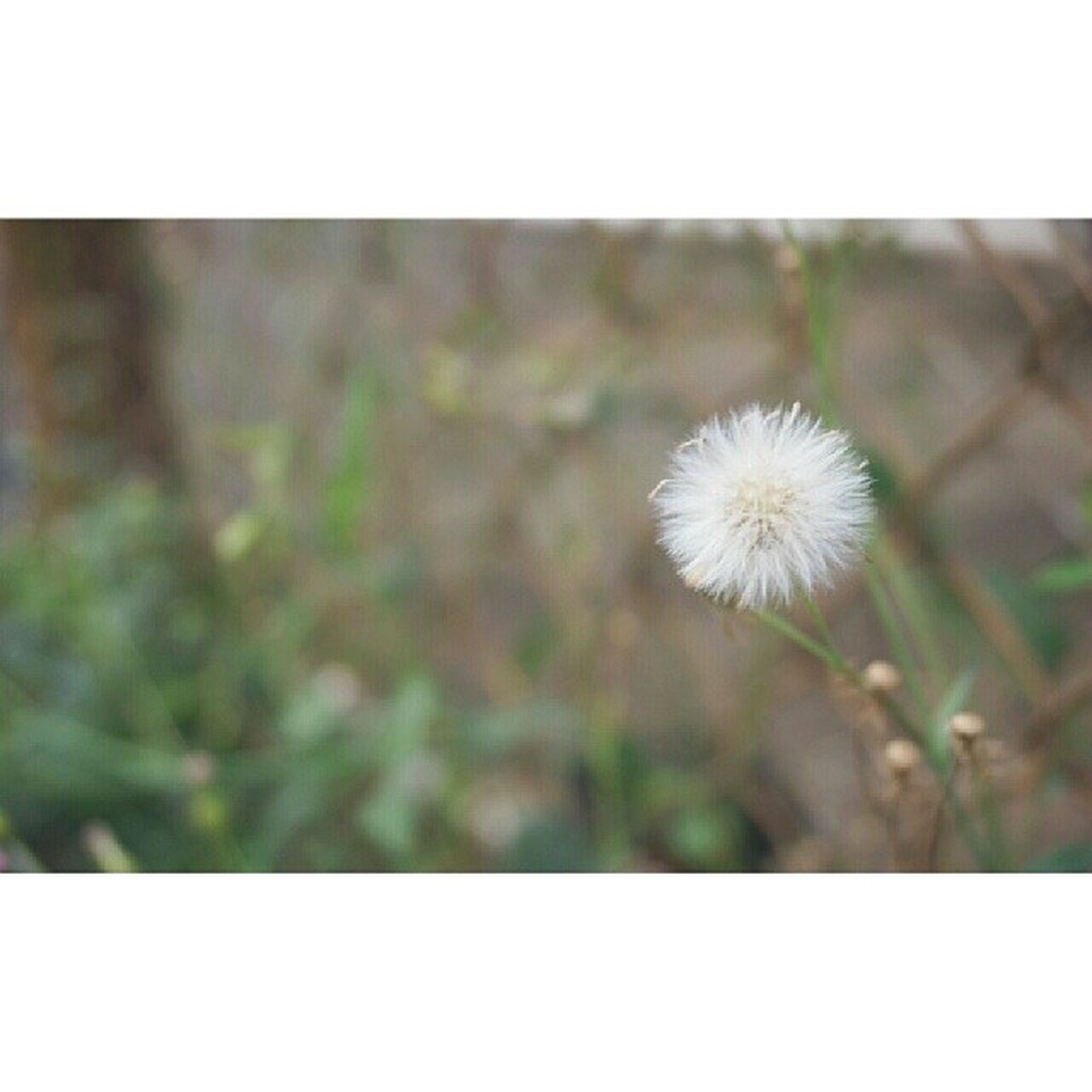 flower, fragility, growth, transfer print, freshness, flower head, close-up, beauty in nature, focus on foreground, nature, dandelion, plant, auto post production filter, stem, wildflower, petal, blooming, single flower, selective focus, white color