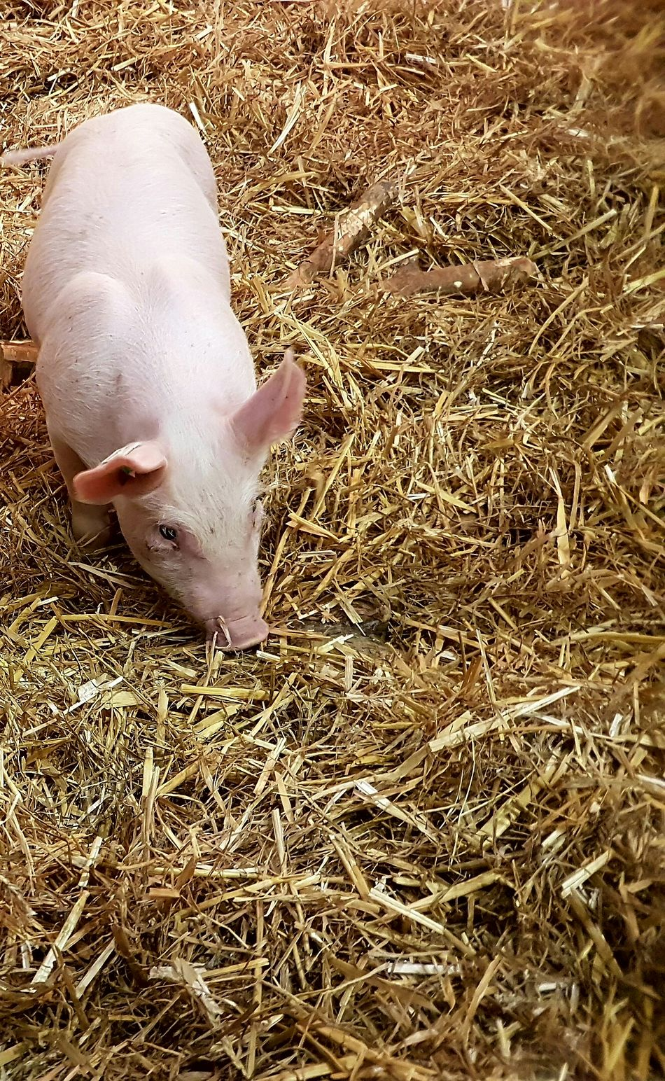 Animal Themes One Animal Meat Processing Animal Body Part Cover Piggies! Piggy Piggies Swine Pig Pork Animal Photography Industry Meat Market Meat! Meat! Meat! Farming Agriculture Photography Agriculture Animal Skin Animal Farm Animals Background