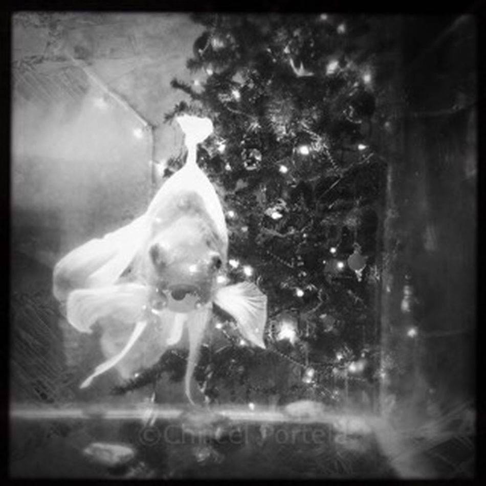 Blackandwhite Noir Et Blanc Christmas Goldfish