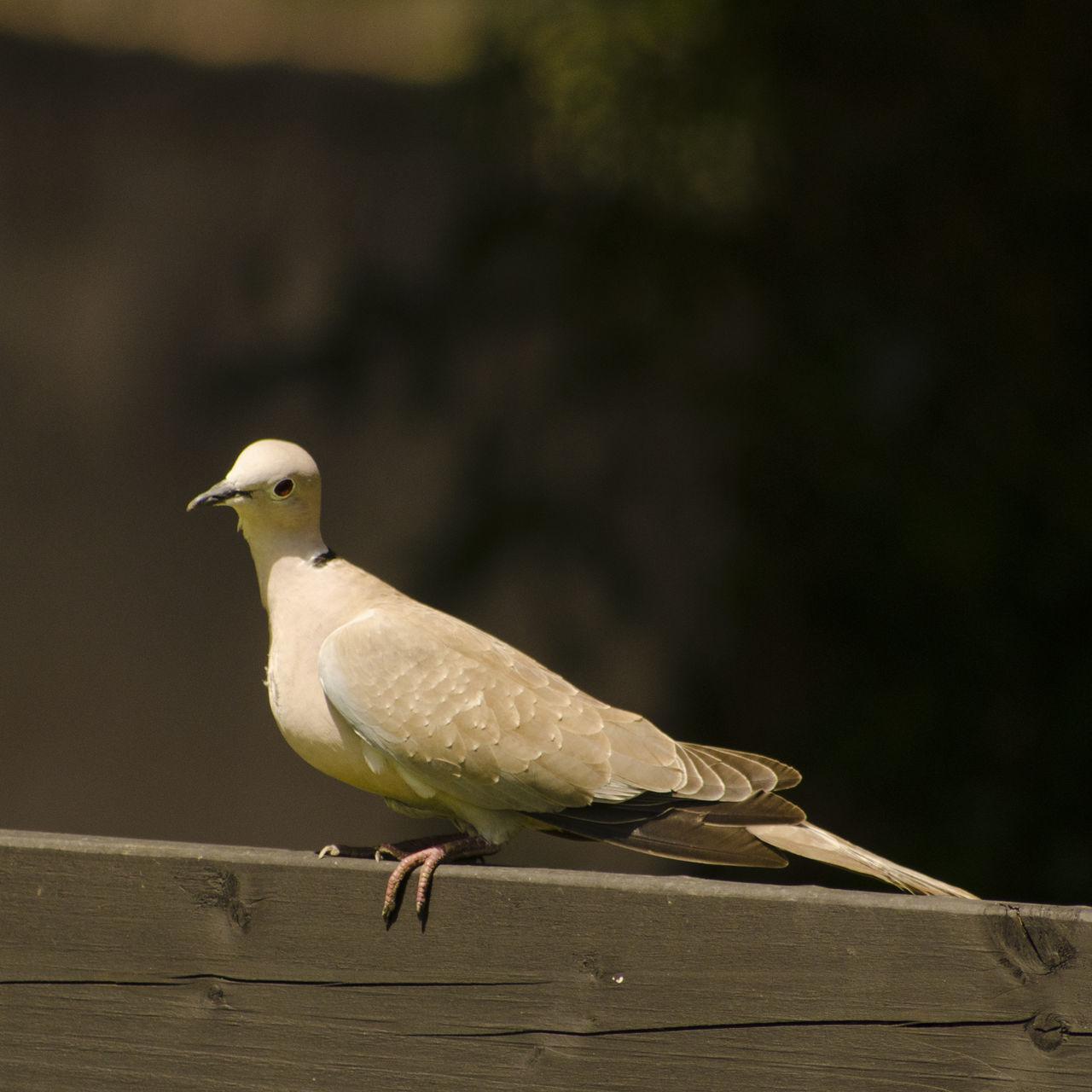 Beautiful stock photos of friedenstaube, bird, perching, animal themes, one animal