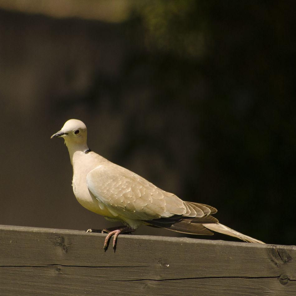Beautiful stock photos of friedenstaube, bird, one animal, animal wildlife, animals in the wild
