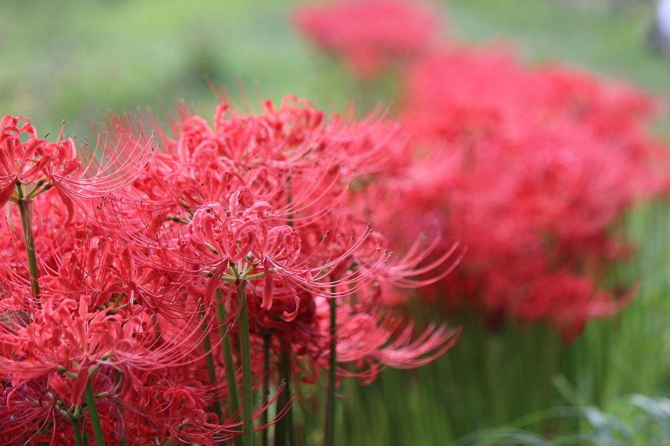 Lycoris Redspiderlily ひがんばな 彼岸花 曼珠沙華