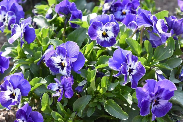 Pansy Purple Pansy Purple Flower Purple Flowers Flower Flowerporn Flower Collection Nature Nature_collection Nature Photography Naturelovers Natural Beauty Beauty In Nature お散歩Photo 紫パンジーの花言葉は「思慮深い」らしい😊