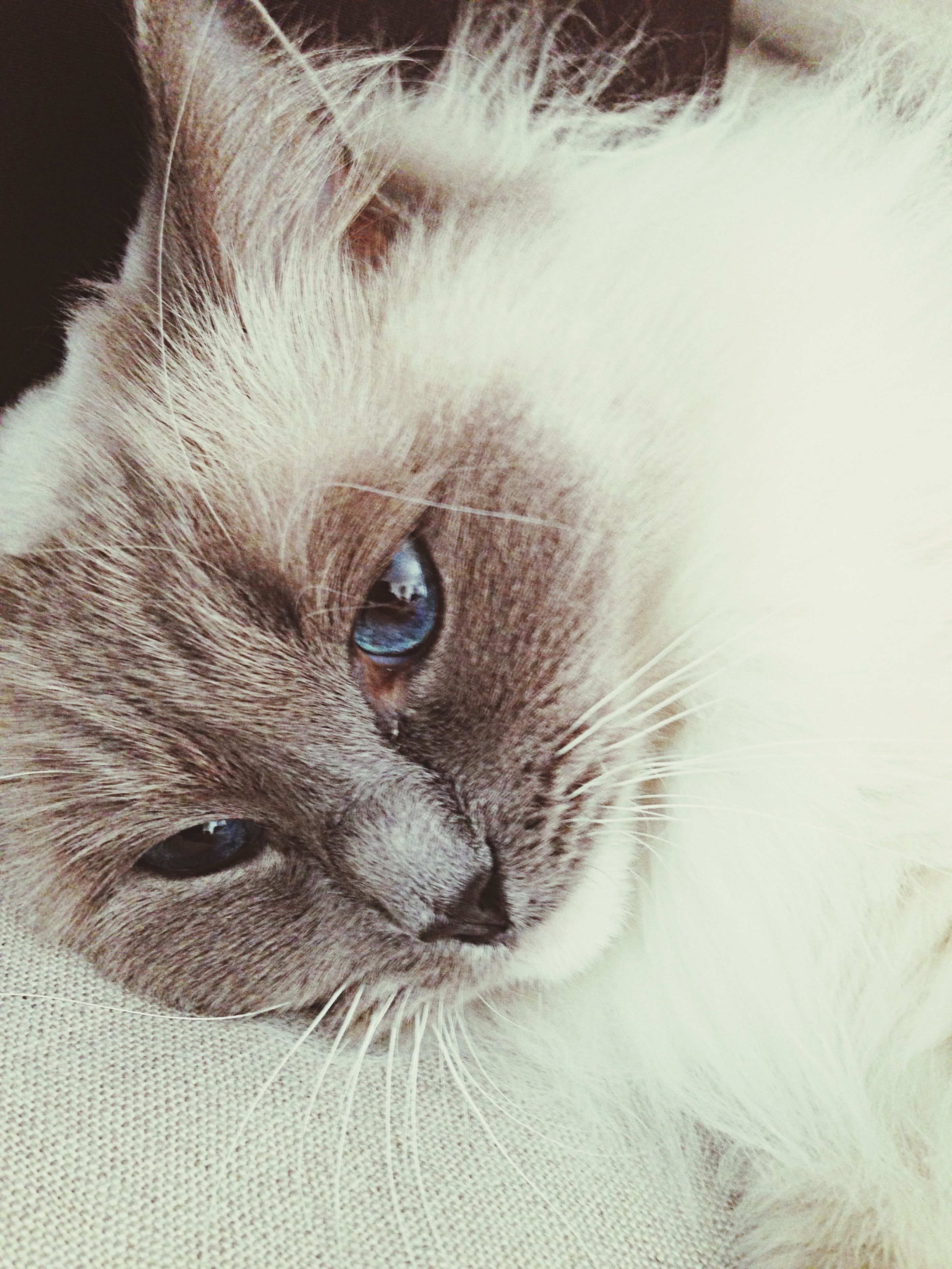 domestic animals, pets, one animal, animal themes, domestic cat, mammal, cat, close-up, whisker, feline, animal head, indoors, animal body part, portrait, animal eye, looking at camera, no people, part of, animal hair, staring