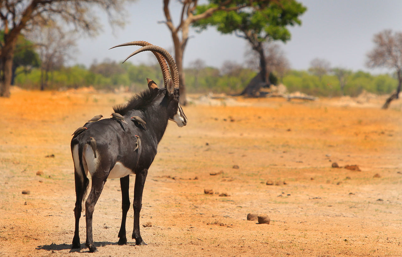 Isolated Sable Antelope standing on the plains in hwange Animal Animal Themes Animals In The Wild Herbivorous Hwange National Park Mammal One Animal Sable Antelope Safari Safari Animals Wildlife Zimbabwe
