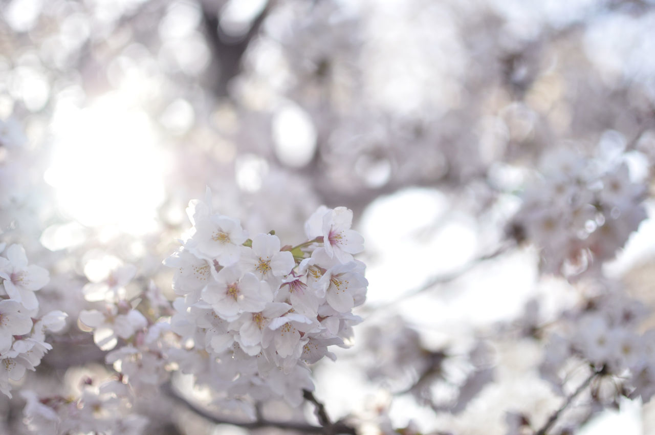 Beautiful stock photos of heaven, Cherry Blossom, Cherry Tree, Close-Up, Day