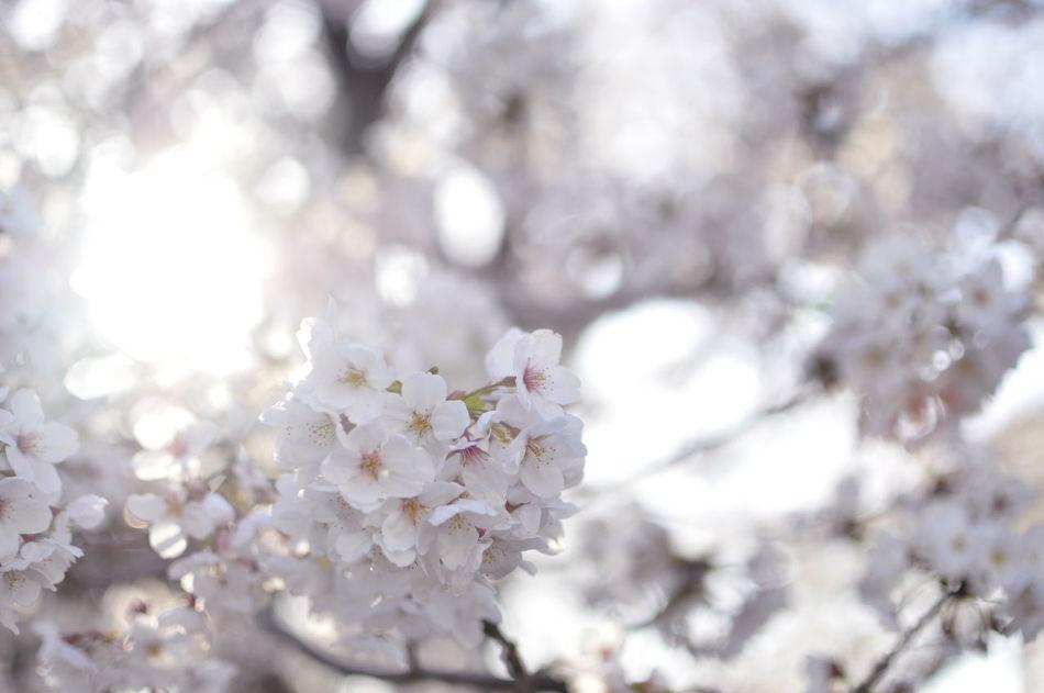 Beautiful stock photos of heaven, Cherry Blossom, Cherry Tree, Close-Up, Day