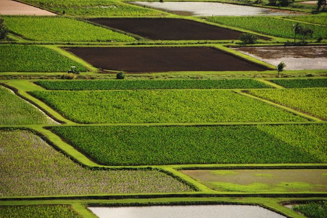 Agriculture Agriculture Beauty In Nature Big Leaves Day Fertile Fields Field Green Color Growth Kauai Landscape Nature No People Outdoors Patterns In Farming Plants Rich Soil Rural Scene Scenics Taro Fields Taro Plants Tranquil Scene Tranquility Travel Destinations Water